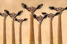 Girafgazelle