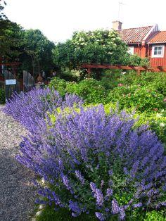 kantnepeta Purple Garden, Colorful Garden, Green Garden, Garden Plants, Landscape Design, Garden Design, Garden Inspiration, Outdoor Spaces, Perennials