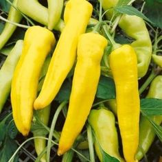 Pepper, Sweet Banana Heirloom Seed. OG Sweet and tasty pointed yellow fruit about 7 inches long. Thick walled fruit turn from light yellow to bright red. Popular for salads, frying, and pickling.