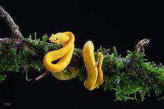 Eyelash Viper - Eyelash Viper (Bothriechis schlegelii)