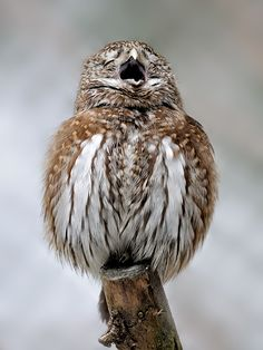 "The singer, © Thorsten Faber ""... in fact, a yawn is the little pygmy I photographed in the reserve zone in the Bavarian Forest NP. It was one of the very rare moments where he was pretty clear."""