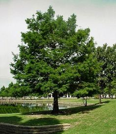 Bald Cypress Tree For Sale