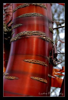 This is a Tibetan Cherry tree (Prunus Serrula Tibetica), I just fell in love with the look of the bark, it looks like plastic all shiny and smooth with bands of colour. My absolute favorite Trees And Shrubs, Trees To Plant, Bonsai, Weird Trees, Old Trees, Unique Trees, Birch Bark, Nature Tree, Prunus