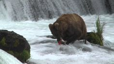 Brown Bears Fishing at Brooks Falls, Alaska