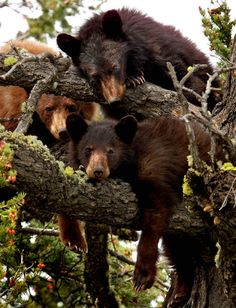 Family bonding  A family of five black bears hang out together in a tree over 40 feet in the air. by Peter Zwiers