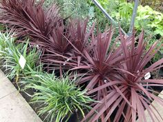 Cordyline 'Red Star' 1.5m .. I have these but the cold has made the leaves brown ! :(