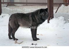 Yukon wolf Stock Photos and Images. 11 yukon wolf pictures and royalty free photography available to search from over 100 stock photo brands...