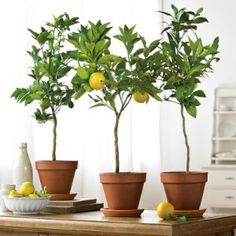 indoor fruit trees ~ I want a lemon tree! Indoor Lemon Tree, Indoor Fruit Trees, Bonsai Fruit Tree, Indoor Plants, Lemon Tree Potted, Ficus, Meyer Lemon Tree, Arbour Day, Citrus Trees