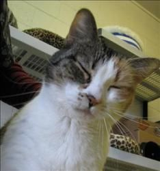 This honey is an older gal who needs a quiet, understanding home! Hailey is an adoptable Domestic Short Hair Cat in West Vancouver, BC. Hailey is in need of a very special home. She was very bonded with her guardian who sadly he passed away. She is the type of cat t...