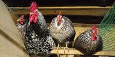 Котляревские 6 Rooster, Animals, Animales, Animaux, Animal, Animais, Chicken