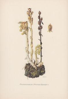 Botanical Print Monotropa hypopitys by AntiquePrintGarden on Etsy