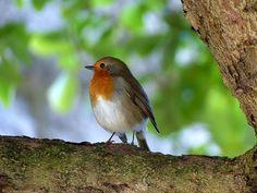 Aves, Robin, La Naturaleza
