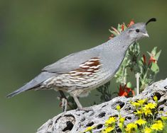 Gambel's Quail can be found at Pancho Villa State Park, which is part of the SW NM Birding Trail