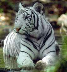 essay on endangered tigers Free essays on endangered tigers get help with your writing 1 through 30.
