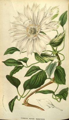 Clematis patens. v.9 (1853-54) - Flore des serres et des jardins de l'Europe - Biodiversity Heritage Library