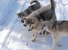 How many huskies does it take to carry a big stick?  So cute! #siberianhusky
