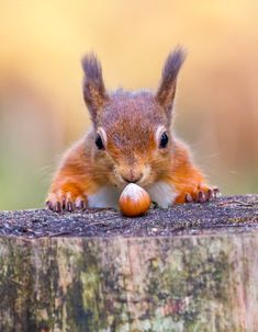 Which Squirrel Matches Your Personality Red Squirrel Animals Squirrel