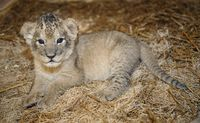 Keepers Step In To Raise Maryland Zoo's First-ever Lion Cubs - ZooBorns