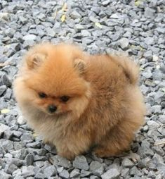 Thinking about bringing a #pomeranian puppy into your home? Here are a few things to know about the breed as a puppy.