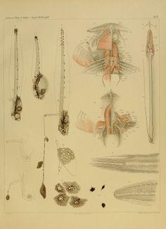Le specie del genere Fierasfer nel golfo di Napoli e regioni limitrofe / - Biodiversity Heritage Library