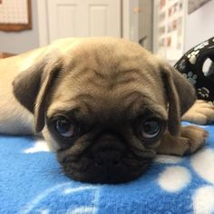 A pug a day everyday forever💝  #pugdaily #pugs #pug #cute #puglover