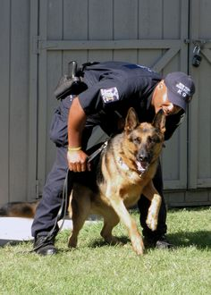 German Shepherd Police Dog ready to work