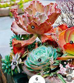A.Echeveria'Mauna Loa' -- 1 B.Graptoveria acaulis-- 2 C.Echeveria lilacina-- 1 D. Silver squill(Ledebouria socialis)--1 E. Paddle plant(Kalanchoe luciae)-- 1