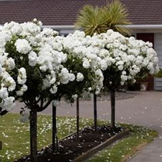 Standard Rose - Iceberg by far the most popular rose used on a standard with masses of classic white blooms.