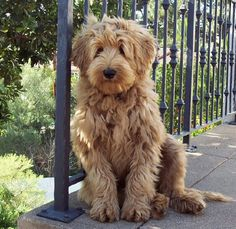 If I ever get a dog, it'll be a labradoodle