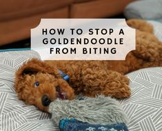 Let me guess. Your Goldendoodle puppy is less than 6 months old and is biting and chewing everything. So how we stop Goldendoodle biting bad behavior? Goldendoodle Full Grown, Mini Goldendoodle Puppies, Goldendoodles, Standard Goldendoodle, Labradoodles, Rottweiler Puppies, Goldendoodle Training, Goldendoodle Grooming, Dog Grooming