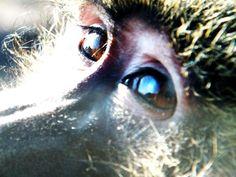 Baboon eyes