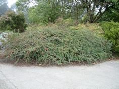 Image result for cotoneaster horizontalis Plants, Image, Plant, Planting, Planets