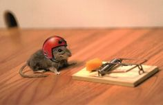 HOW TO SET A MOUSE TRAP! It can be pretty hard work to set a mouse trap, unless you know what you are doing. Here is a how to video on just how they set mice. Funny Animal Pictures, Funny Photos, Funny Animals, Cute Animals, Animal Fun, Funny Images, Whatsapp Apk, Whatsapp Videos, Funny Rats