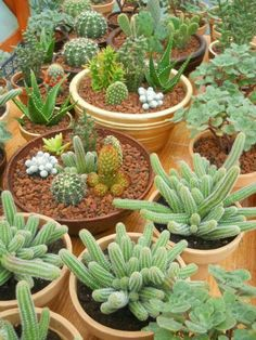 Cactus e suculentas...gosto muito!
