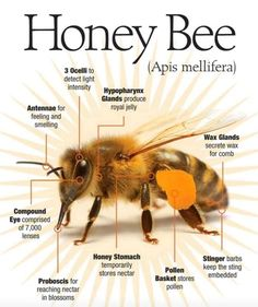The Honey Bee Anatomy 🐝 Honey Bee Facts, Backyard Beekeeping, Bees And Wasps, Bee Friendly, Bee Art, Bugs And Insects, Busy Bee, Save The Bees, Bee Happy