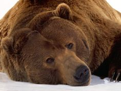Cuddly Looking Brown Grizzly Bear