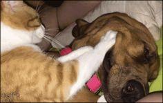 catgifcentral:  Massaging his dog friend