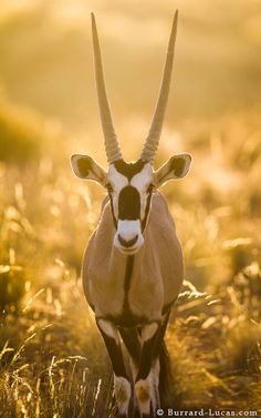 The gemsbok is remarkably adapted to its arid environment; particularly noteworthy is its ability to survive without drinking water for most of the year. It conserves water within its body by lying in the shade during the hottest part of the day, and restricts activity to early mornings, late afternoons or the cool nights.