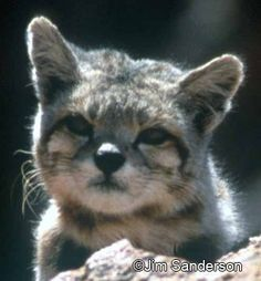 Andean Mountain cat. Rare cat with long thick fur. Size of a large domestic cat found in mountainous areas of S America. Rare Cats, Exotic Cats, Cats And Kittens, Big Cats, Extinct Animals, Rare Animals, Gatos Cool, Cat Species, Interesting Animals