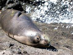 Hawaiian Monk Seal photo art print