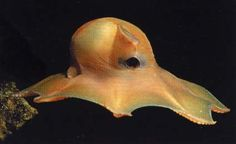 Grimpoteuthis - cutest octopus of all