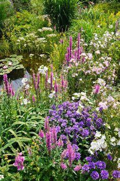 Campanula Glomerata, Clustered Bellflower, Bellflower, Danesblood