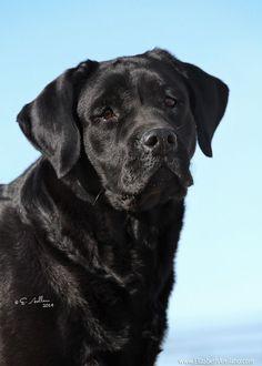 English Labrador Retriever...beautiful. #LabradorRetriever