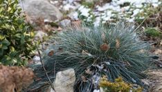 Kostrzewa (Festuca glauca Intense Blue). Trawy ozdobne piękne zimą Festuca Glauca Intense Blue, Plants, Plant, Planets