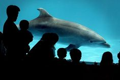 Japanese Aquariums' Link to the Dolphin Slaughter at Taiji:   A survey shows that half the dolphins in Japanese facilities are taken from the annual hunts at the cove.
