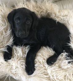 Black Labrador Puppy. Retriever. Black Lab Pup.
