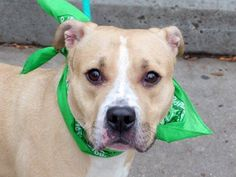 TO BE DESTROYED - 12/24/14 Manhattan Center My name is MACHO. My Animal ID # is A1023095. Neutered male tan and white pit bull mix. 3 YEARS old. OWNER SUR **TERRIFIED FAMILY DOG DESPERATE FOR 2nd CHANCE!!! Likes kids/ strangers/ dogs/ ~ He's housebroken and also paper trained; crate trained; leash trained and knows commands. This is a great dog who is terrified.shy and nervous and trembled during handling, with a fearful body language. **$300 DONATION to the NEW HOPE RESCUE that pulls!!**