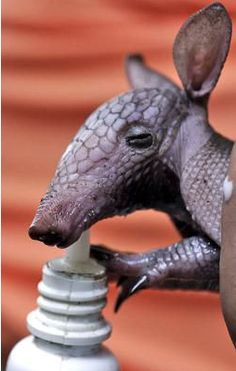 This just in! Behbeh Armadillo
