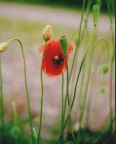 Valmue i blomst