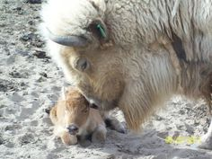 white buffalo - considered sacred or spiritually significant in several Native…